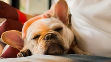 Close Up White French Bulldog...