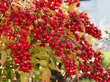 Baies De Couleur Rouge Vif Du Bambou Sacré En Hiver - Nandina Domestica