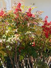 Nandina Domestica - Le Bambou Sacré Ou Bambou Céleste, Un Arbuste Ornemental Au Feuillage Coloré Et Aux Petites Baies Rouges Vif Persistantes En Hiver.