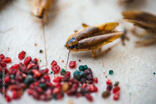 Fotografía  Macro picture of a cockroach crawling to the bait