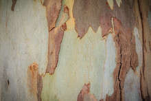 Abstract Brown Pattern Background In Colorful Texture Of Eucalyptus Tree Bark. Tree Trunk Texture Of Old Eucalyptus Bark For Background.
