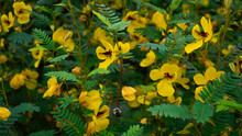 Partridge Pea In A Large Clust...