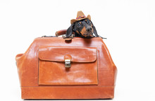 Dachshund Breed Dog, Black And Tan, In A Cowboy Hat Hid In A Vintage Suitcase For Travel, Isolated On Gray Background