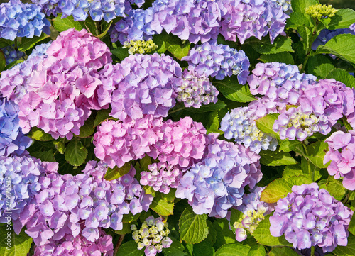 Foto auf Gartenposter Hortensie Blühende Hortensien