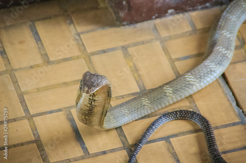 The king cobra (Ophiophagus hannah), also known as hamadryad, is a species of venomous snake in the family Elapidae Wallpaper Mural