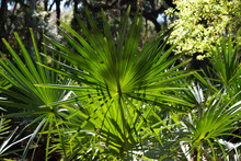 Afternoon Sun On Saw Palmetto