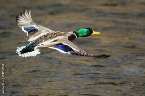 Mallard Duck Flying Over the Flowing River Wallpaper Mural