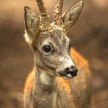 Deer In Nature, Animal Photo