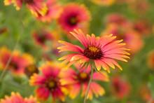 Blanket Flower Meadow Gaillardia