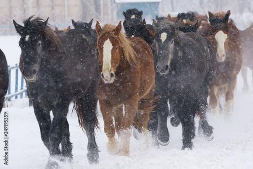 Zdjęcie XXL Grupa koni biegających na śnieżnym polu