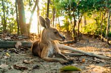Australia, Queensland, Mackay, Cape Hillsborough National Park, Kangaroo Resting In Forest At Sunrise