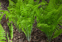 Spring Ferns With Fiddleheads Unfurling
