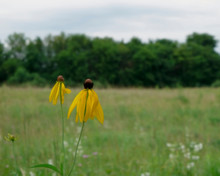Two Yellow Gray-headed Coneflowers In An Open Field With Trees And Cloudy Sky