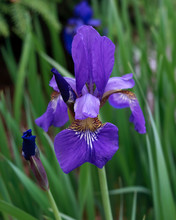One Siberian Iris With Grasslike Leaves In Background