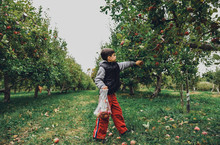Full Length Of Cute Boy Picking Apple From Fruit Tree At Orchard