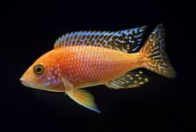 Aulonocara Firefish