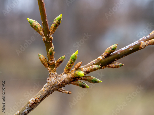 Fotografie, Obraz  first forsythia buds at the end of winter