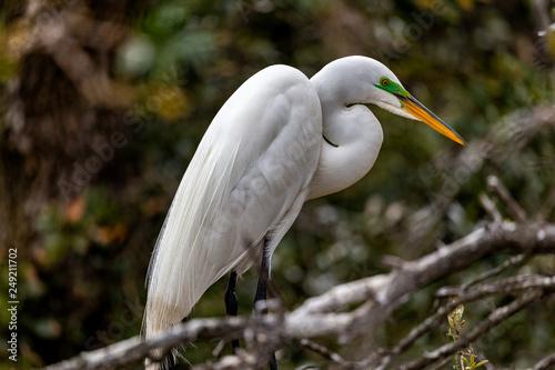 Fotografie, Obraz  Great Egret perched in a tree