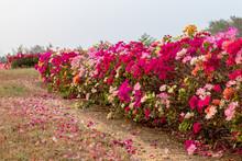 Bougainvillea Flowers Stretch ...