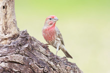 Housefinch Perched On A Branch Backyard Home Feeder