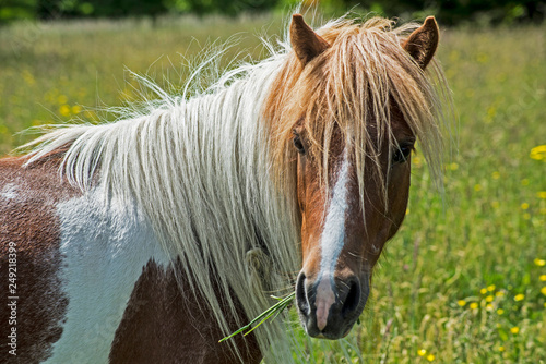 Close up of Single Palomino horse  on Grayson Highlands.