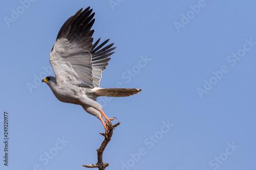 Fotografia  Eastern Chanting Goshawk taking Flight