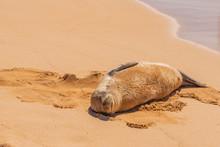 Fat Monk Seal Sleeping On Tropical Beach