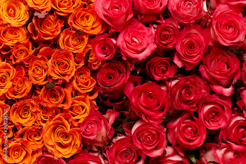 red roses background #249226701