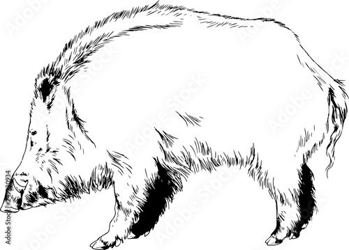 Photo  large wild boar drawn in ink freehand sketch logo