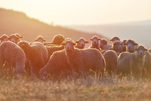 Flock Of Sheep At Sunset With ...