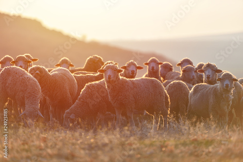 Foto op Canvas Schapen Flock of sheep at sunset with warm lens flare