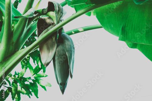 kwiat-bananow-na-drzewie-lato-tropikalny-tlo