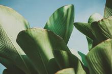 Close Up Banana Leafs Texture....