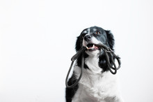 Cute Dog With Leash In Mouth. Black And White Border Collie Waiting On The Walk.