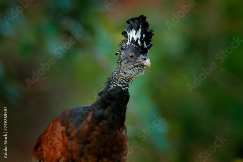 Fotografija  Great Curassow, Crax rubra, big black bird with yellow bill in the nature habitat, Costa Rica