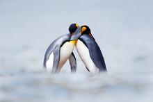 King Penguin Mating Couple Cud...