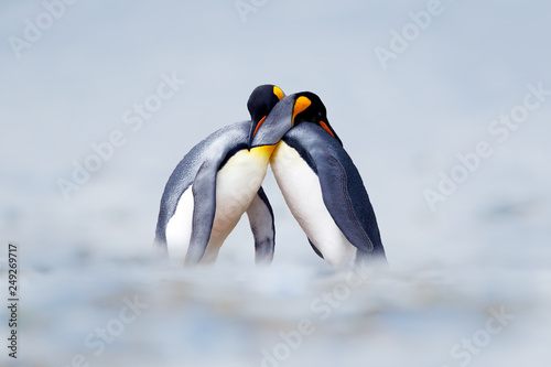 Pingouin King penguin mating couple cuddling in wild nature, snow and ice. Pair two penguins making love. Wildlife scene from white nature. Bird behavior, wildlife scene from nature, South Georgia, Antarctica.
