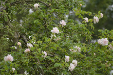"Rambling Or Climbing Rose ""Madame Alfred Carriére"" With Bright Pink Flowers In An Apple Tree, Old Noisette Rose Bred By Schwartz 1875, Selected Focus"