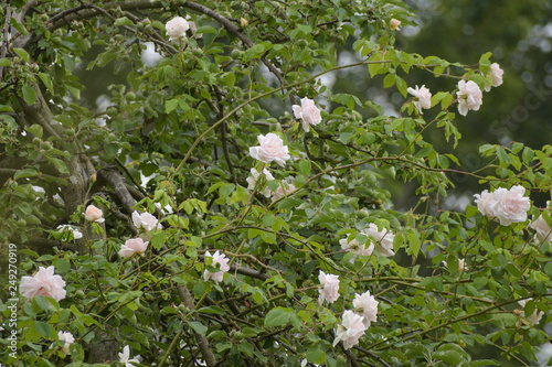 """Photo  rambling or climbing rose """"Madame Alfred Carriére"""" with bright pink flowers in a"""