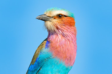 Beautiful African bird, close-up portrait. Detail portrait of beautiful bird. Lilac-breasted roller, Coracias caudatus, head with blue sky. Pink and blue animal from nature.