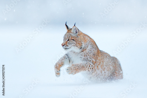 Eurasian Lynx running, wild cat in the forest with snow. Wildlife scene from winter nature. Cute big cat in habitat, cold condition. Snowy forest with beautiful animal wild lynx, Germany.