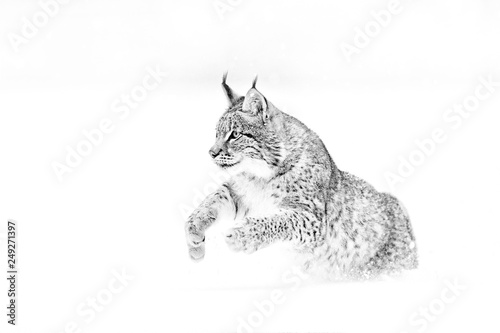 Poster Lynx Black and white nature art. Cute big cat in habitat, cold condition. Snowy forest with beautiful animal wild lynx, Poland. Eurasian Lynx running, wild cat in the forest with snow.
