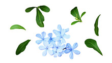 Set Of Plumbago Flowers And Le...