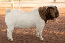 Boer Goats White And Brown