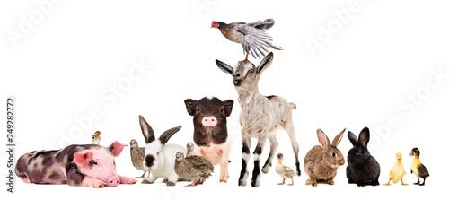 fototapeta na lodówkę Group of funny farm animals isolated on white background