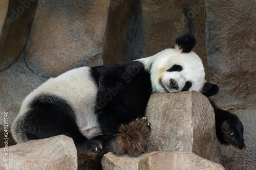 Foto auf Gartenposter Pandas Image of a panda is sleeping on the rocks. Wild Animals.