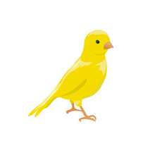 Small Yellow Bird. Canary