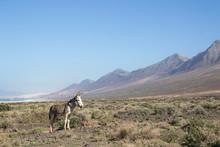 Donkey At Cofete Beach, Fuerte...