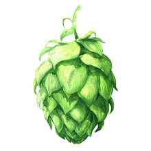 Fresh Green Hop, Brewery Of Beer Production, Close-up Isolated Plant, Hand Drawn Watercolor Illustration On White Background