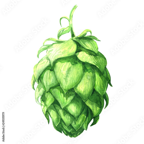 Fotografía Fresh green hop, brewery of beer production, close-up isolated plant, hand drawn
